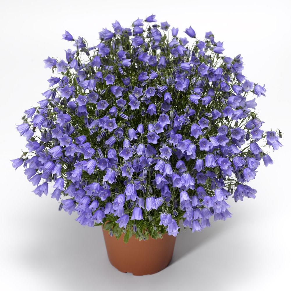 HR_Seed_Campanula_Swinging_Bells™_Swinging_Bells™_Blue_70018498_2.jpg