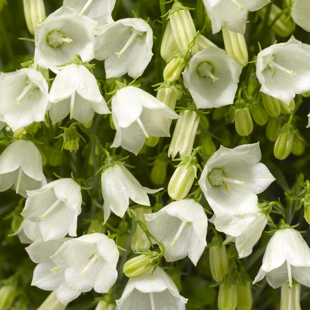 HR_Seed_Campanula_Swinging_Bells™_Swinging_Bells™_White_70018499_1.jpg