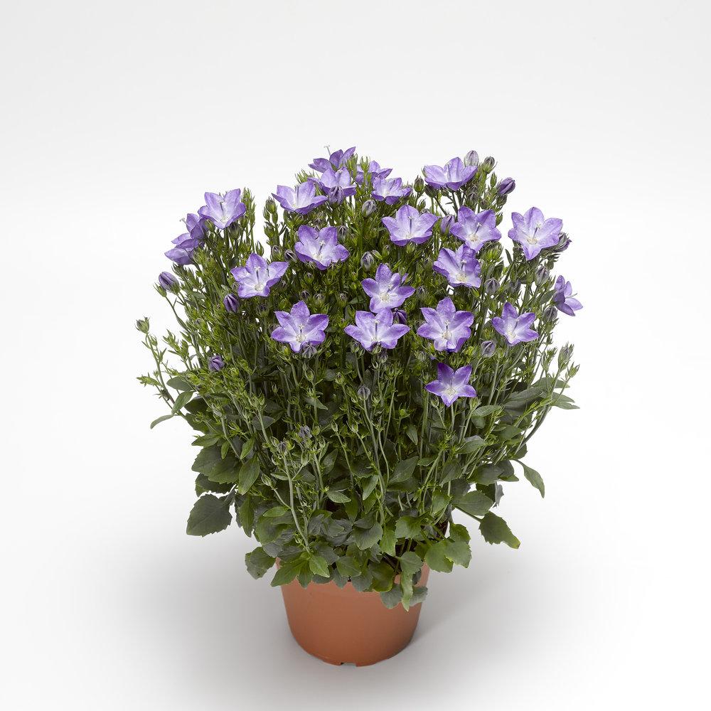HR_Vegetative_Campanula_Beyond_Beyond_Blue_Imp._70060869_1.jpg