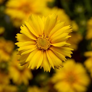 Coreopsis Corey Compact Gold.jpg