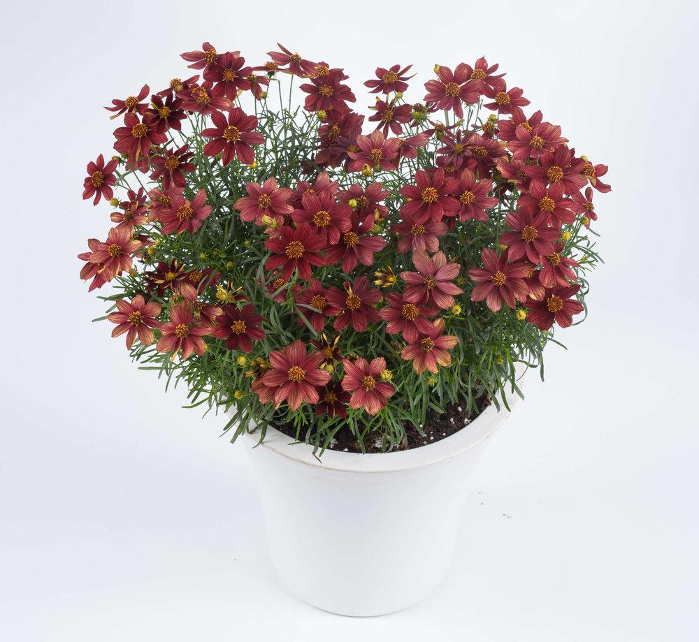 coreopsis-rossana.jpg