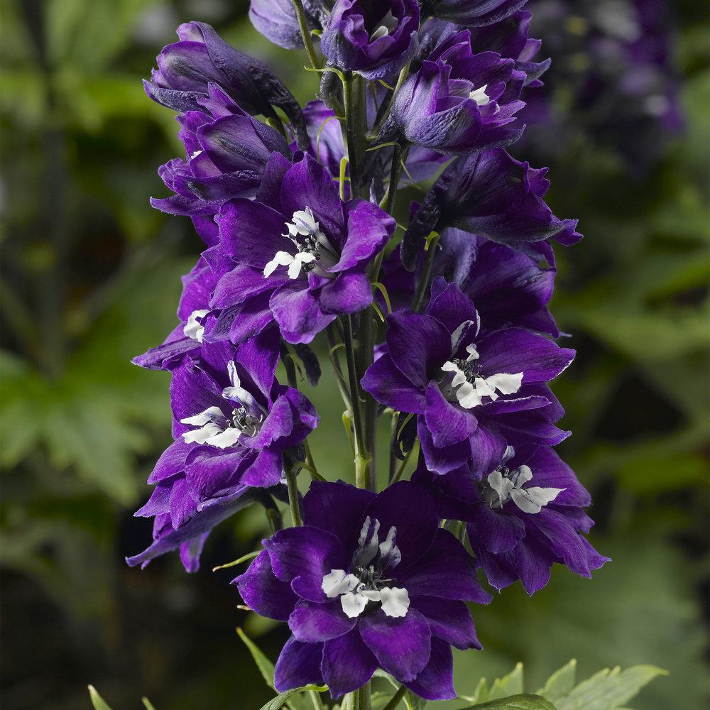 HR_Seed_Delphinium_Delphina™_Delphina™_Dark_Blue_White_Bee_70048651.jpg