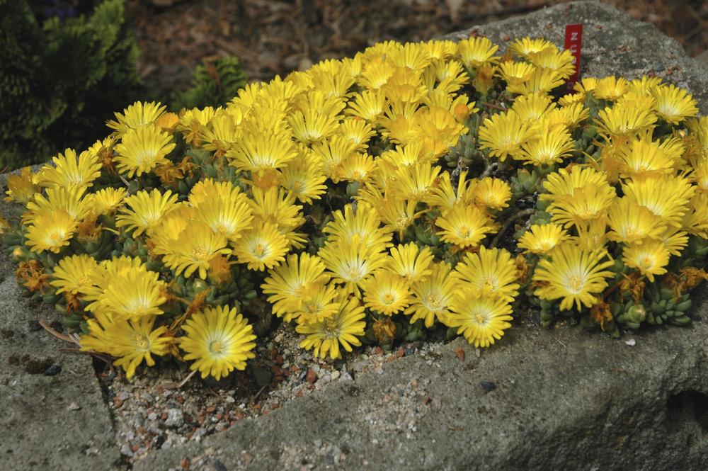 Yellow Ice Plant