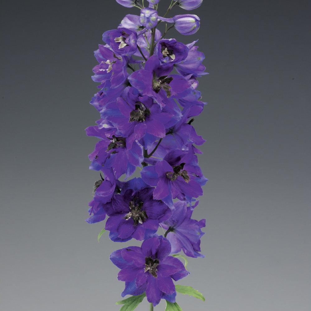 HR_Seed_Delphinium_Excalibur™_Excalibur™_Dark_Blue_Black_Bee_70001034_3.jpg