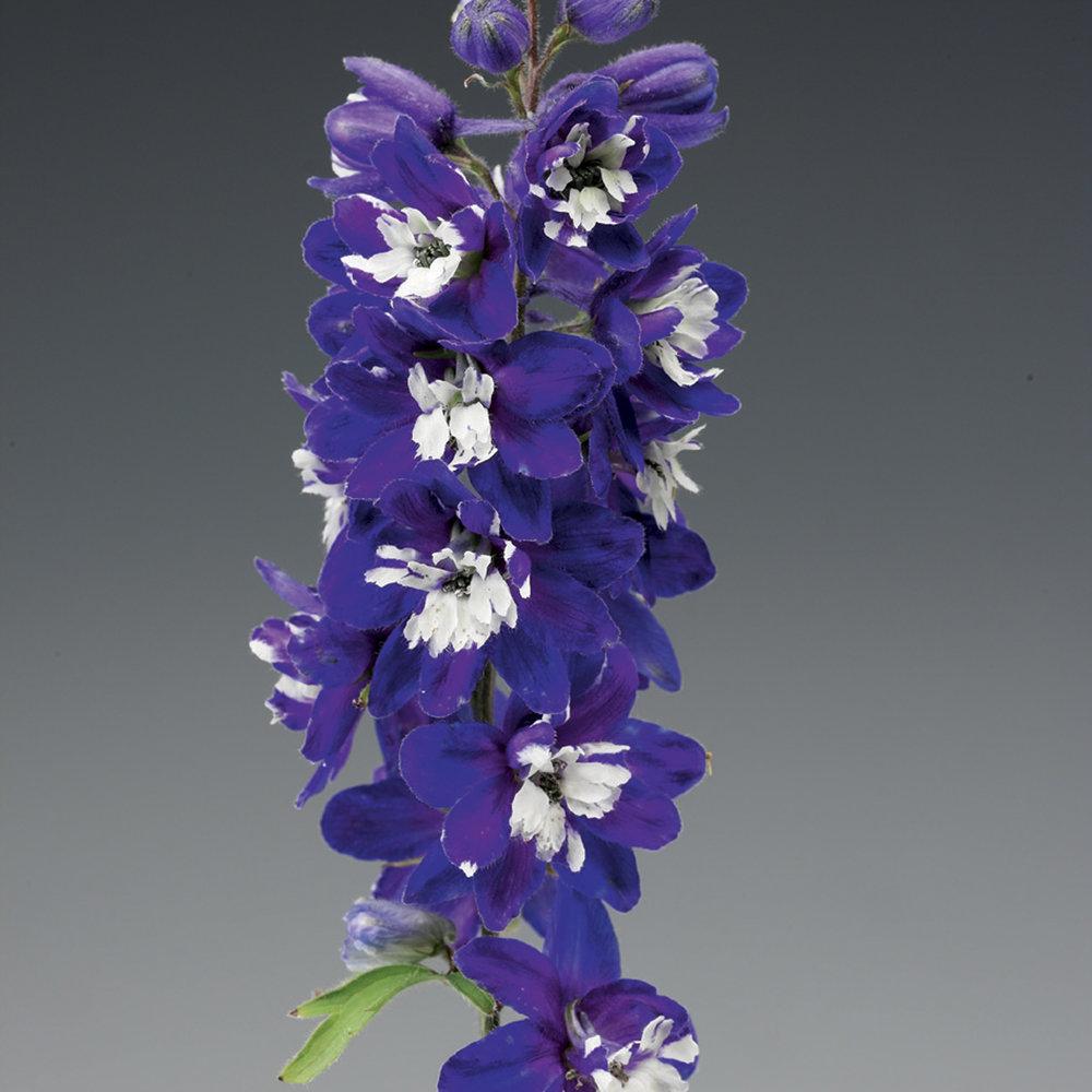 HR_Seed_Delphinium_Excalibur™_Excalibur™_Dark_Blue_White_Bee_70001033_2.jpg