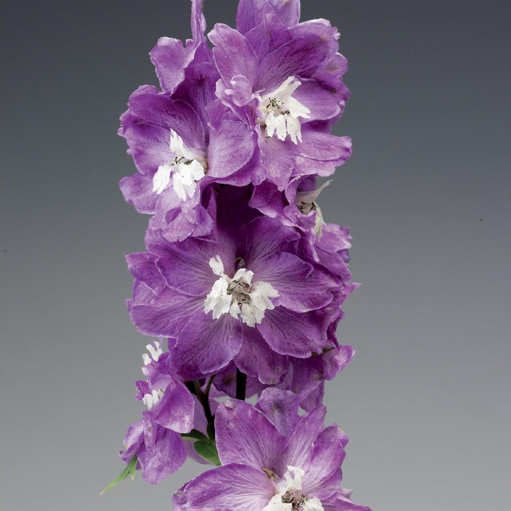 HR_Seed_Delphinium_Excalibur™_Excalibur™_Lilac_Rose_White_Bee_70001031_1.jpg