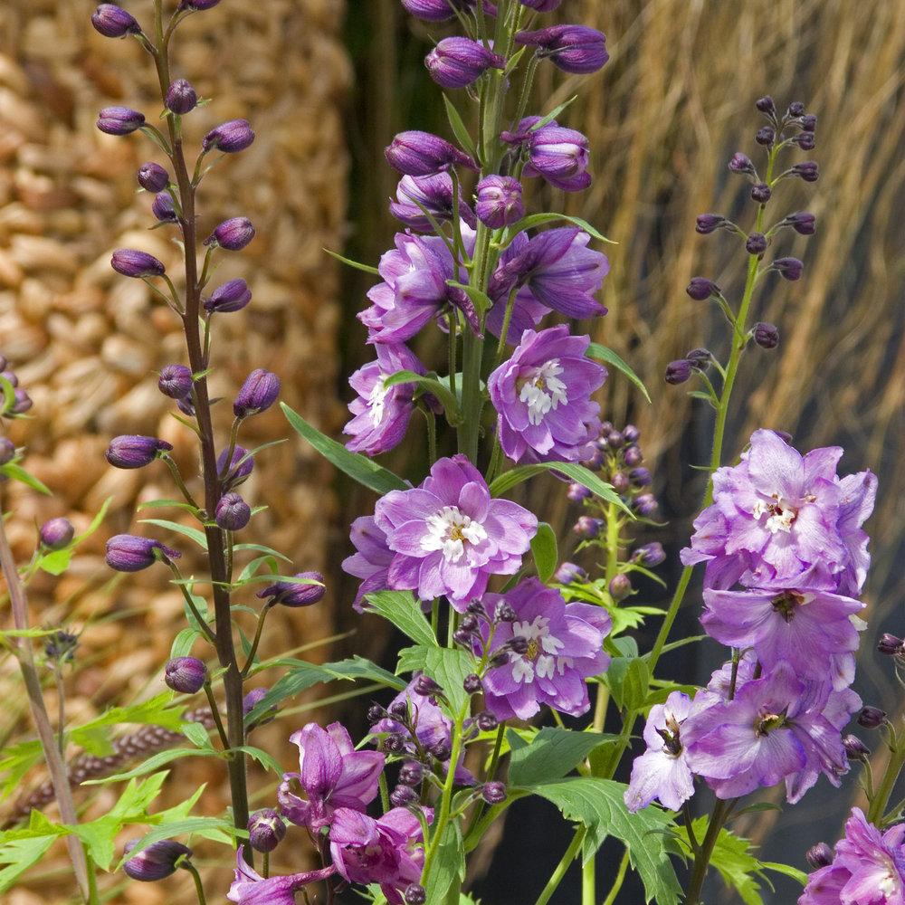 HR_Seed_Delphinium_Excalibur™_Excalibur™_Lilac_Rose_White_Bee_70001031.jpg