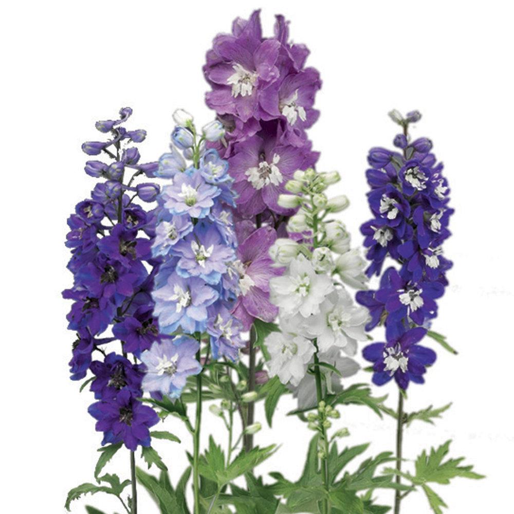 HR_Seed_Delphinium_Excalibur™_Excalibur™_Mix_70003533_1.jpg