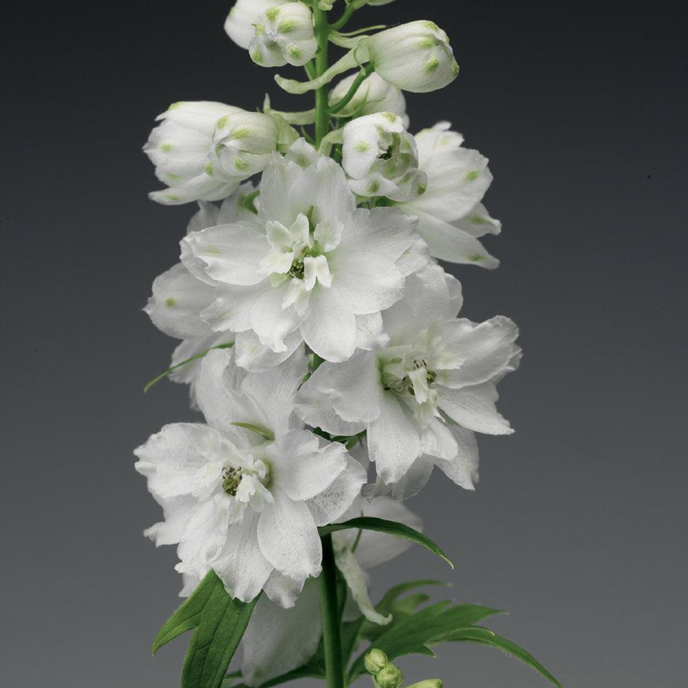 HR_Seed_Delphinium_Excalibur™_Excalibur™_Pure_White_70001030_2.jpg