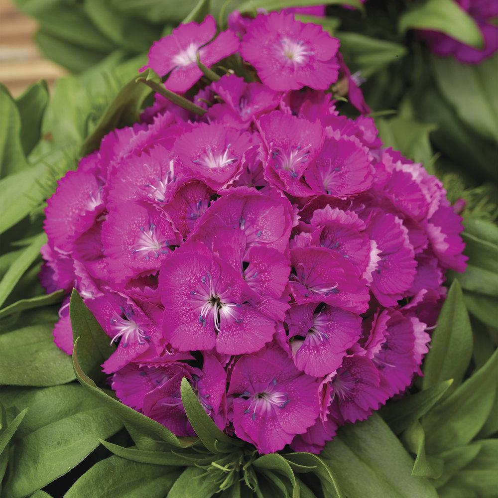 HR_Seed_Dianthus_Barbarini®_Barbarini®_Lilac_70001022_1.jpg