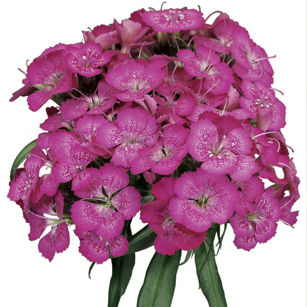 HR_Seed_Dianthus_Barbarini®_Barbarini®_Lilac_70001022.jpg