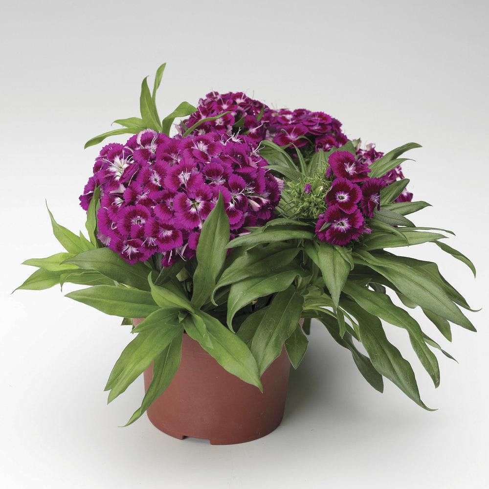 HR_Seed_Dianthus_Barbarini®_Barbarini®_Purple_70001027_1.jpg