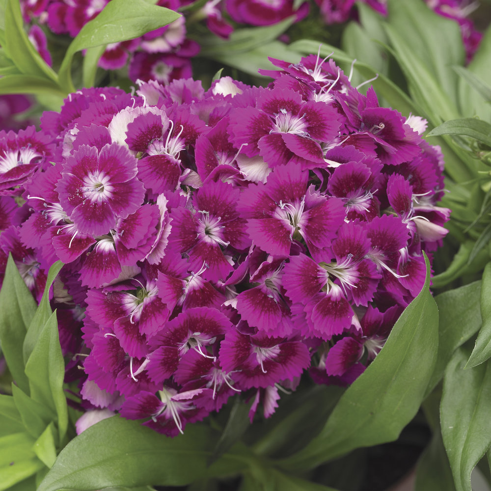 HR_Seed_Dianthus_Barbarini®_Barbarini®_Purple_70001027.jpg