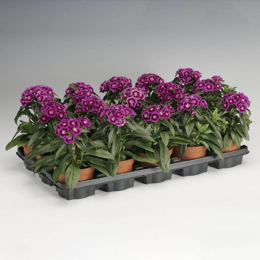 HR_Seed_Dianthus_Barbarini®_Barbarini®_Purple_Bicolor_70001020_1.jpg