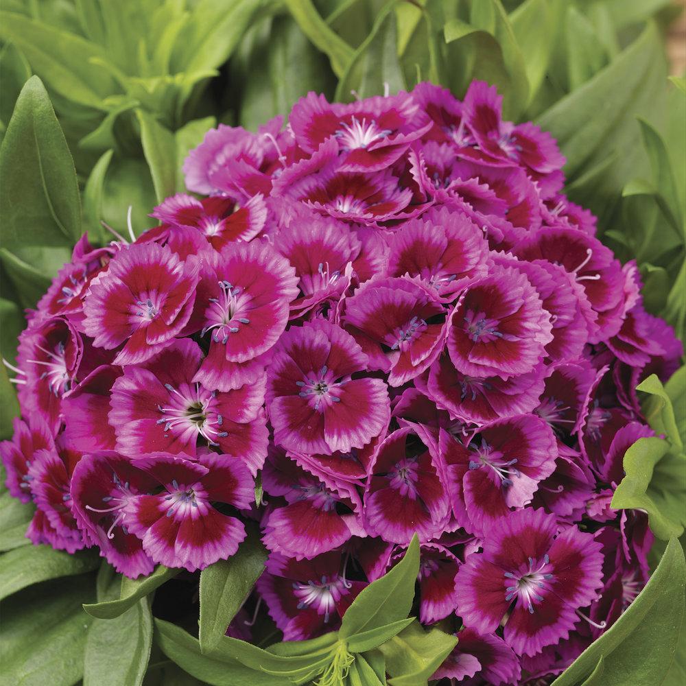 Purple Bicolor