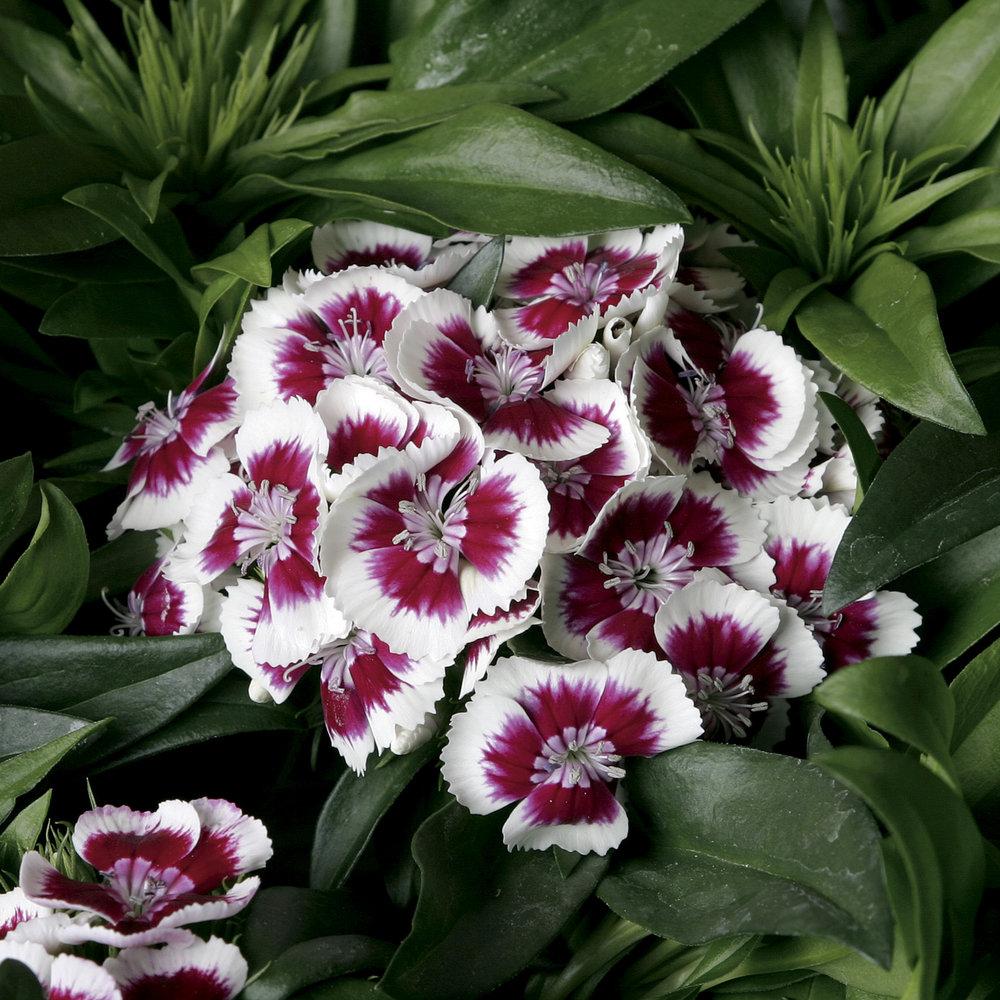 HR_Seed_Dianthus_Barbarini®_Barbarini®_Red_Picotee_70001025_1.jpg