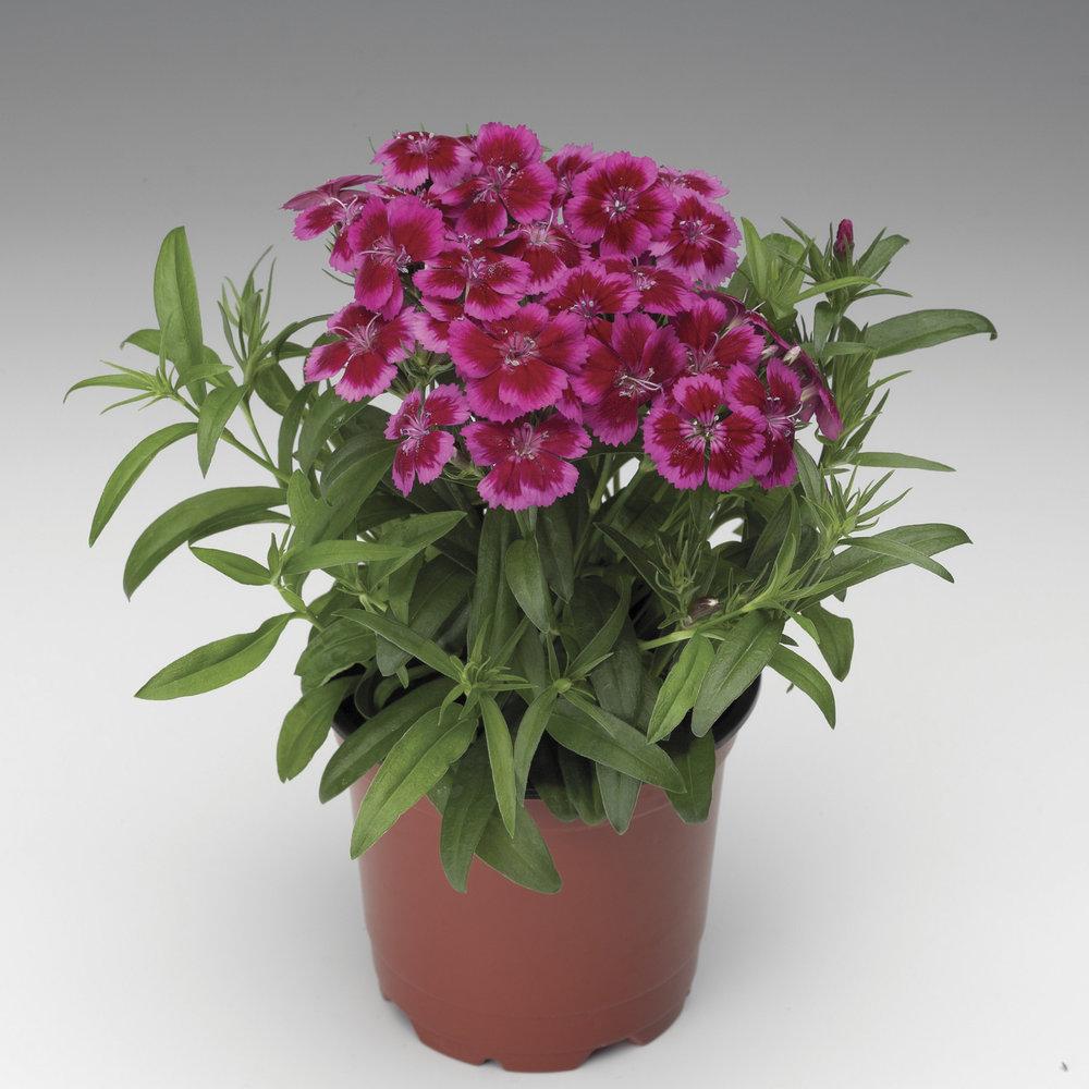 HR_Seed_Dianthus_Barbarini®_Barbarini®_Red_Rose_Bicolor_70001234.jpg