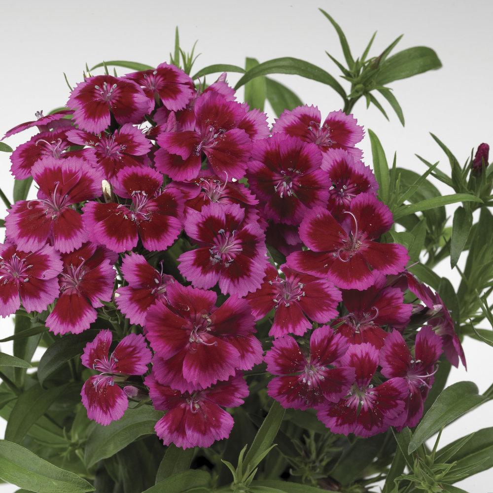 Red Rose Bicolor