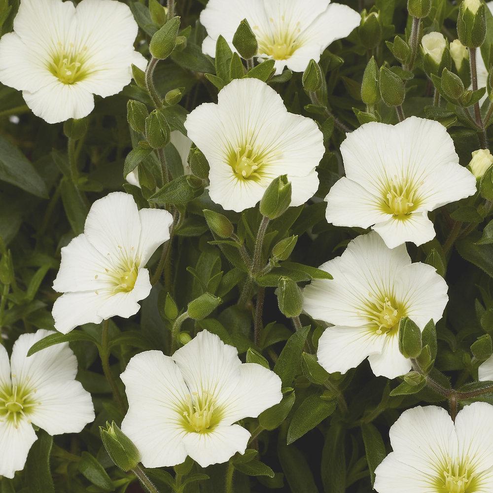 HR_Vegetative_Arenaria_Winter_Winter_White_70064285.jpg