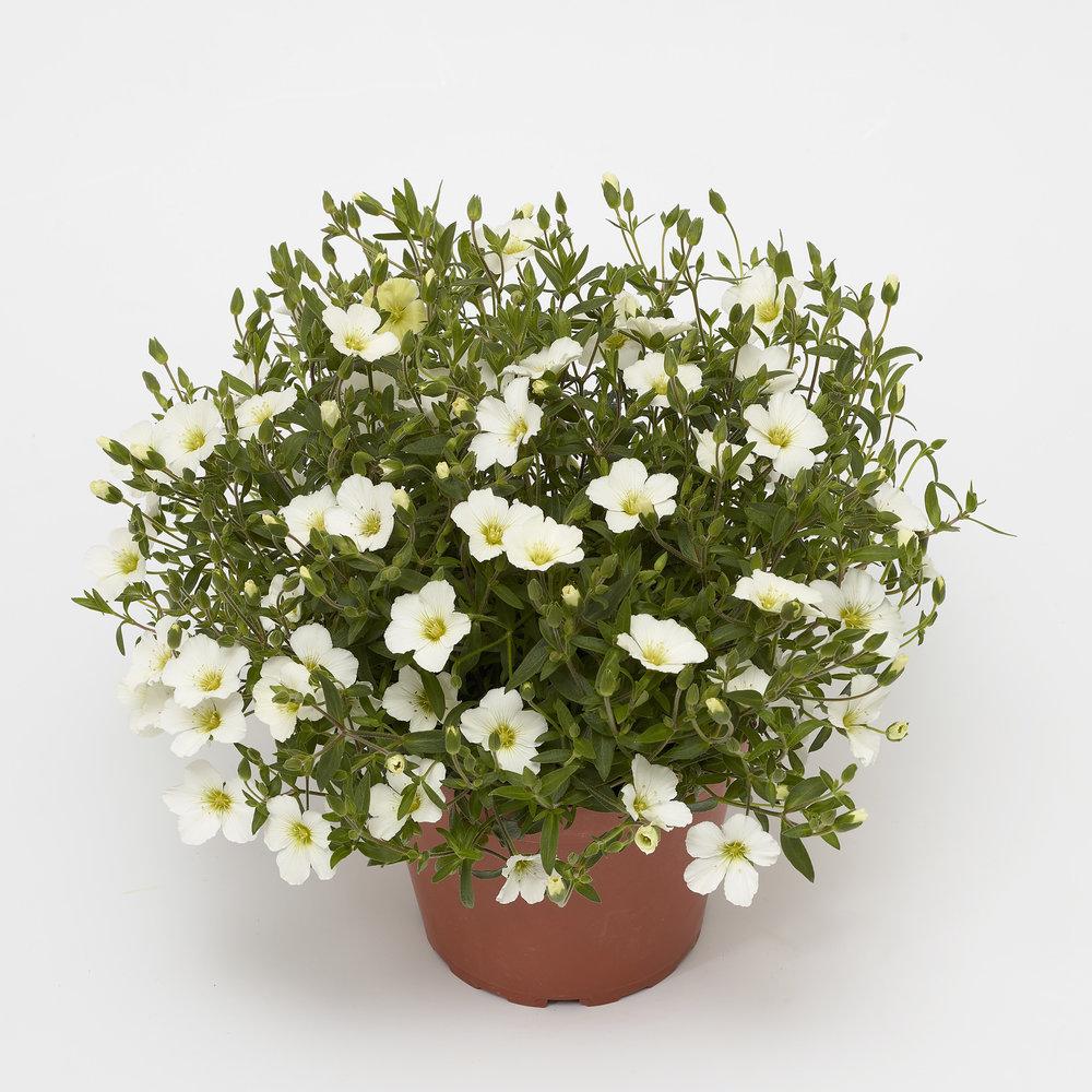 HR_Vegetative_Arenaria_Winter_Winter_White_70064285_1.jpg