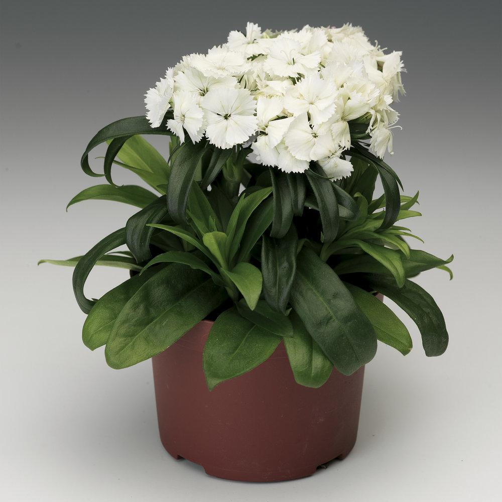 HR_Seed_Dianthus_Barbarini®_Barbarini®_White_70001026.jpg