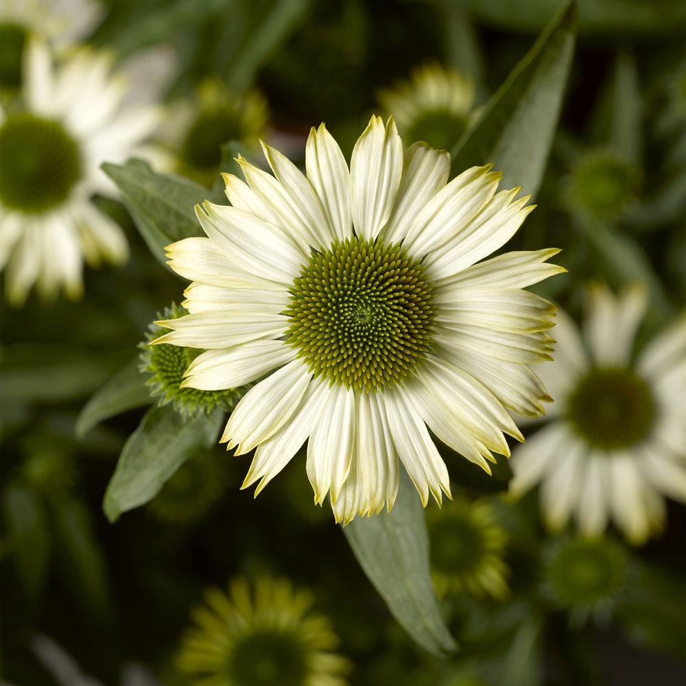 HR_Seed_Echinacea_Prairie_Splendor_Compact™_Prairie_Splendor_Compact™_White_70054424.jpg