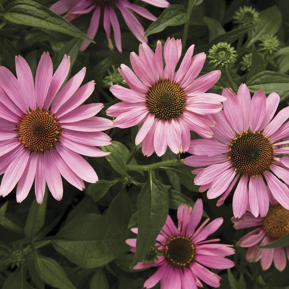 HR_Seed_Echinacea_Prairie_Splendor™_Prairie_Splendor™_Deep_Rose_70004274_1.jpg