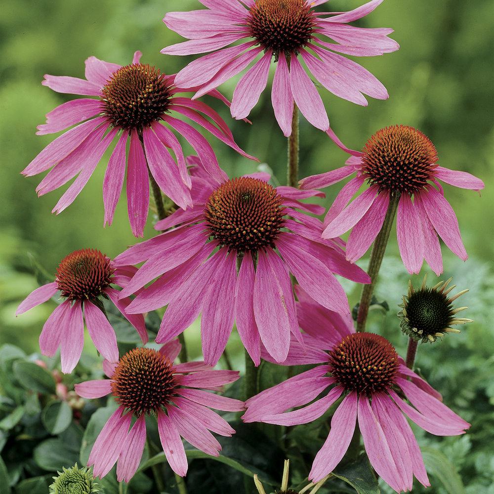 HR_Seed_Echinacea_Prairie_Splendor™_Prairie_Splendor™_Deep_Rose_70004274.jpg