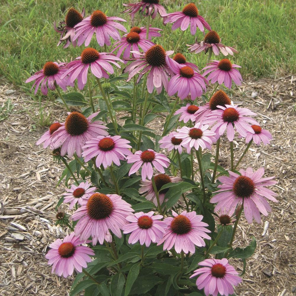 HR_Seed_Echinacea_Prairie_Splendor™_Prairie_Splendor™_Deep_Rose_70004274_2.jpg