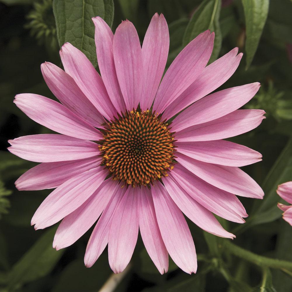 HR_Seed_Echinacea_Prairie_Splendor™_Prairie_Splendor™_Deep_Rose_70004274_3.jpg