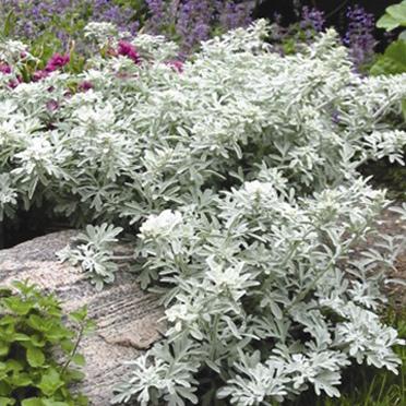 Silver Brocade