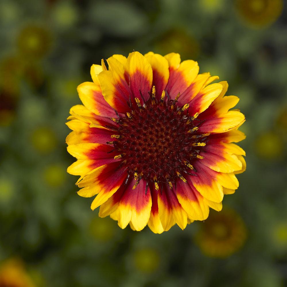 HR_Vegetative_Gaillardia_Barbican™_Barbican™_Yellow_Red_Ring_70054465.jpg