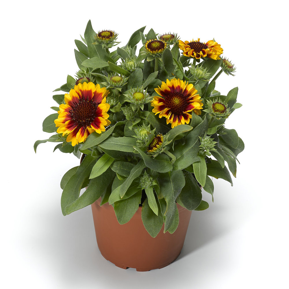 HR_Vegetative_Gaillardia_Barbican™_Barbican™_Yellow_Red_Ring_70054465_1.jpg