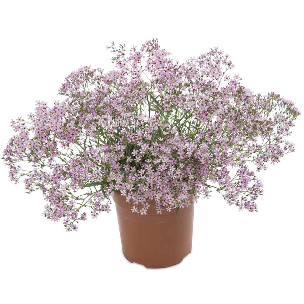 HR_Gypsophila_Pink_Splash.jpg