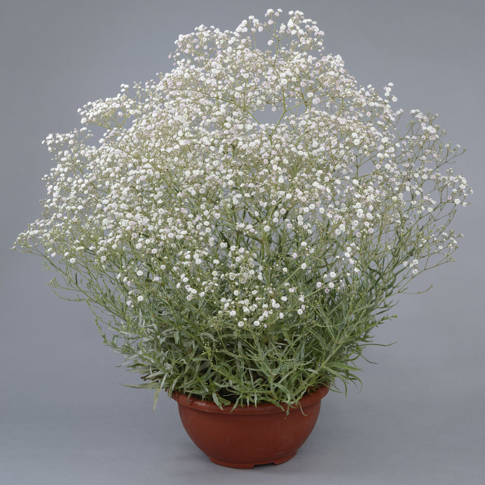 HR_Gypsophila_White.jpg