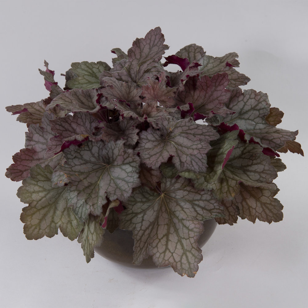 HR_Heuchera_Kkira_Oakforest.jpg