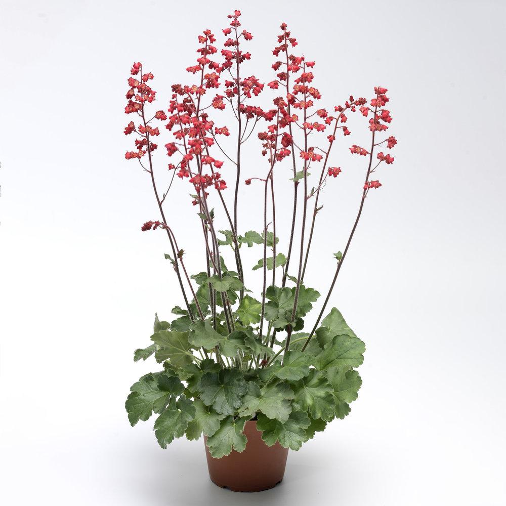 HR_Seed_Heuchera_Coral_Forest™_Coral_Forest™_70006799.jpg