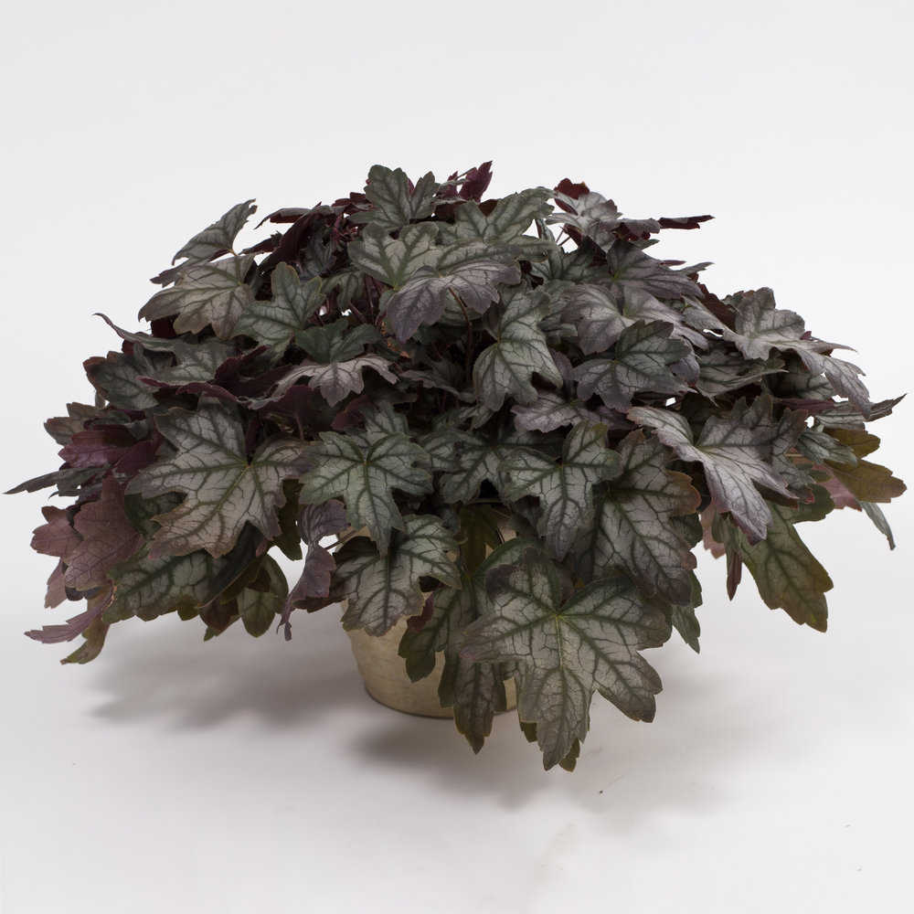 HR_Heucherella_Kirella_Autumn_Shades.jpg