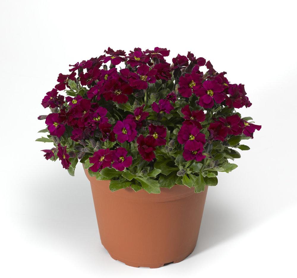 HR_Vegetative_Aubrieta_Axcent™_Axcent™_Burgundy_Imp._70052187.jpg