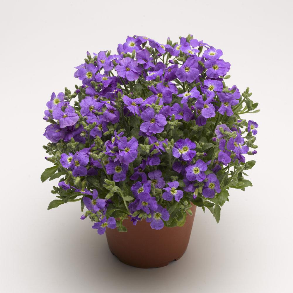 HR_Vegetative_Aubrieta_Axcent™_Axcent™_Light_Blue_70017931_1.jpg
