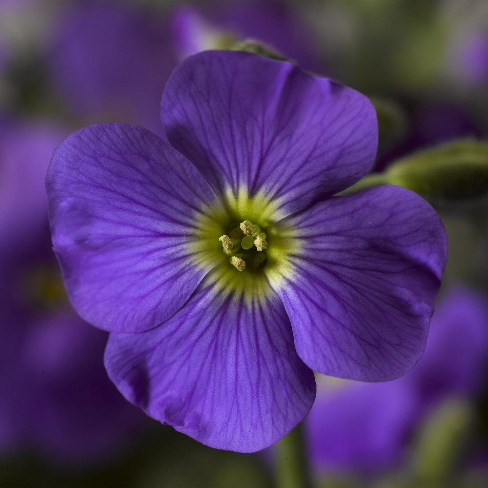 HR_Vegetative_Aubrieta_Axcent™_Axcent™_Light_Blue_70017931.jpg