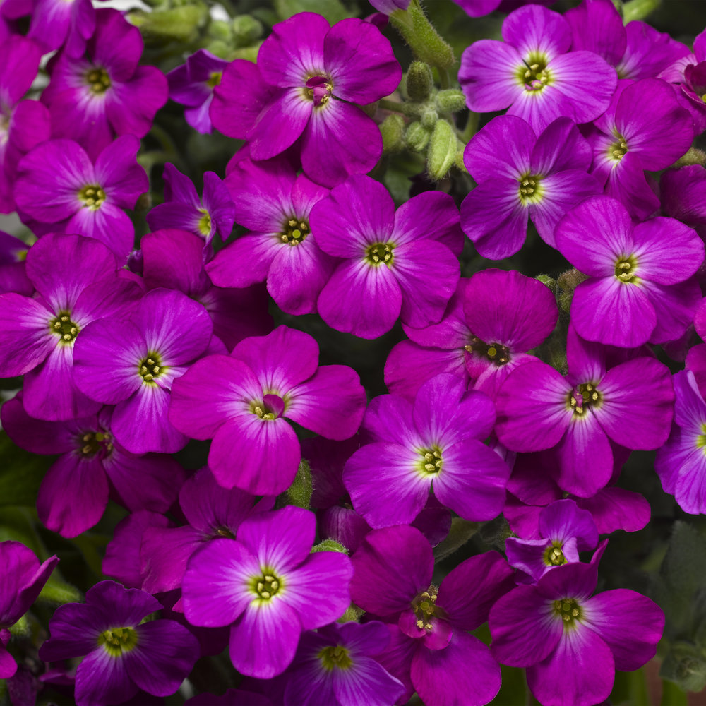 Lilac Imp.