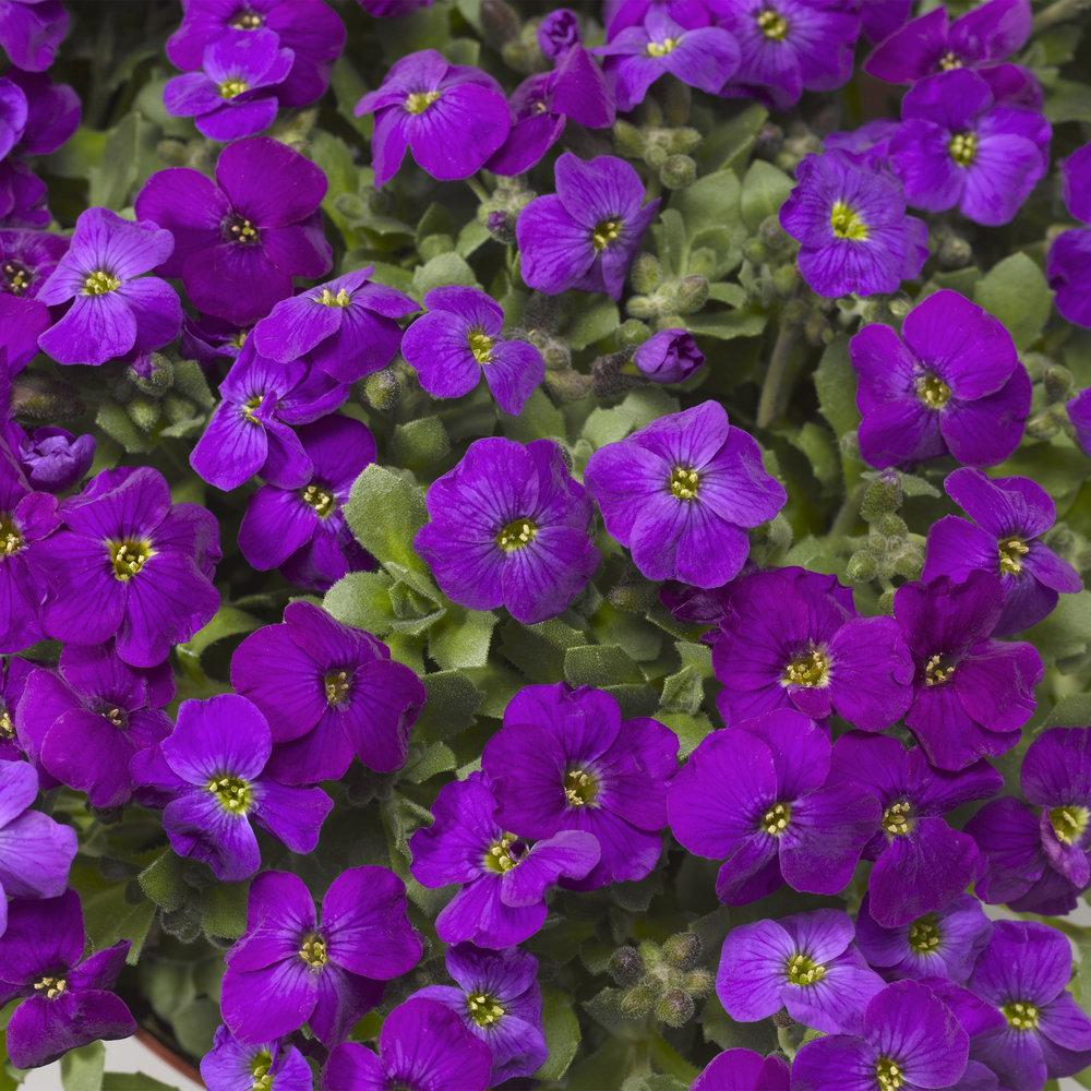 Deep Purple Compact