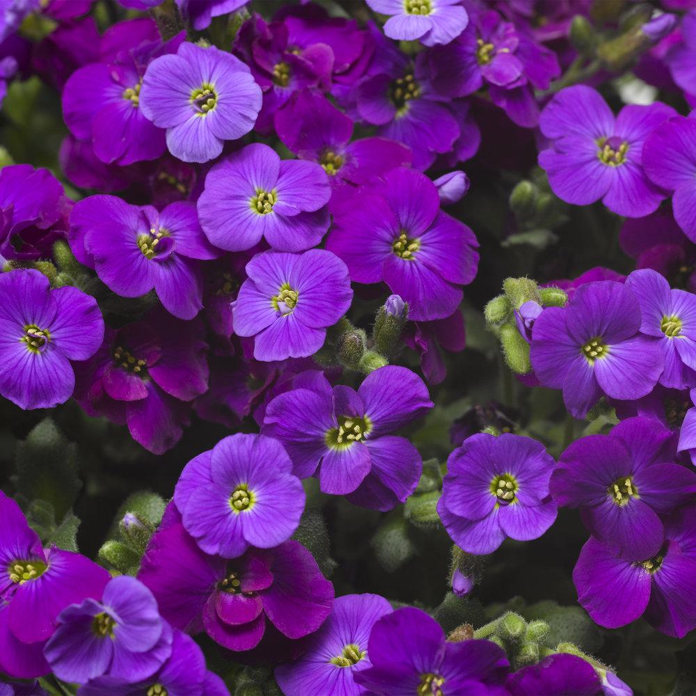 Deep Purple Imp.
