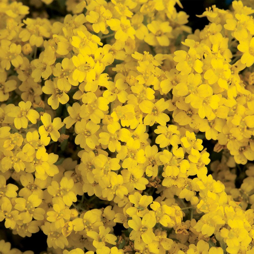 Summit Golden Yellow.jpg