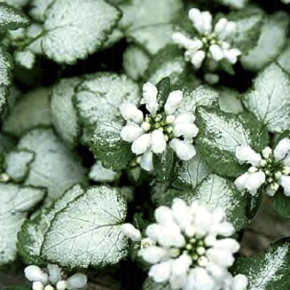HR_Lamium_White_Nancy.jpg