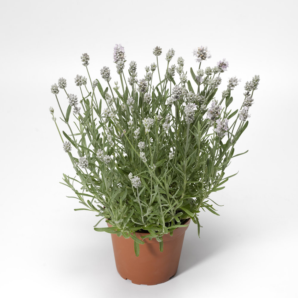 HR_Seed_Lavandula_Scent™_Scent™_White_Early_70019938_1.jpg
