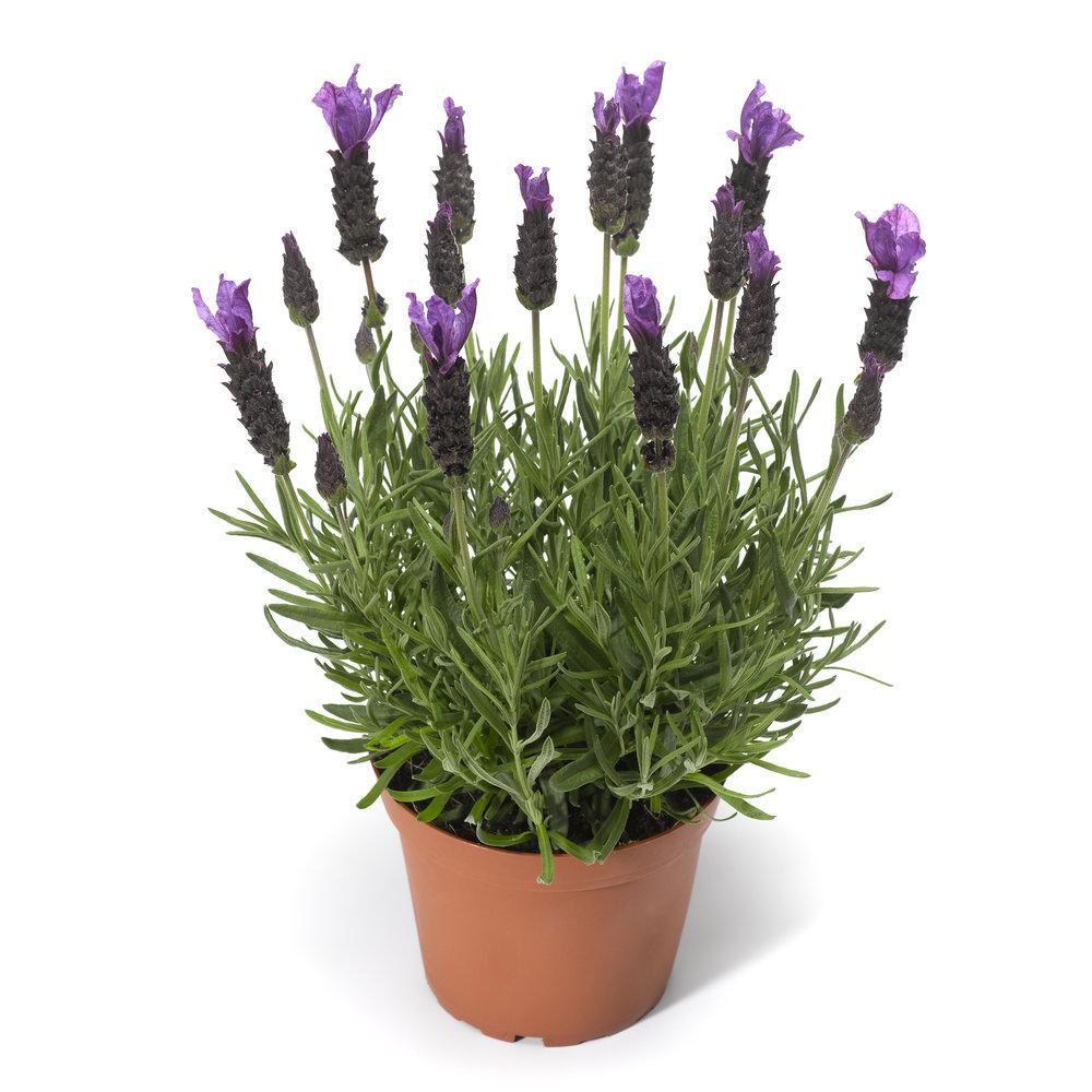 HR_Vegetative_Lavandula_Javelin_Forte™_Javelin_Forte™_Deep_Purple_70051469_2.jpg