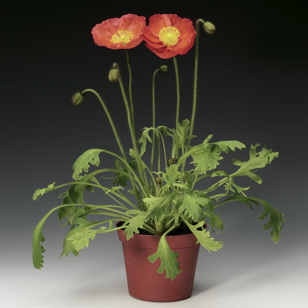 HR_Seed_Papaver_Pulchinella__Pulchinella__Rose_70004241.jpg