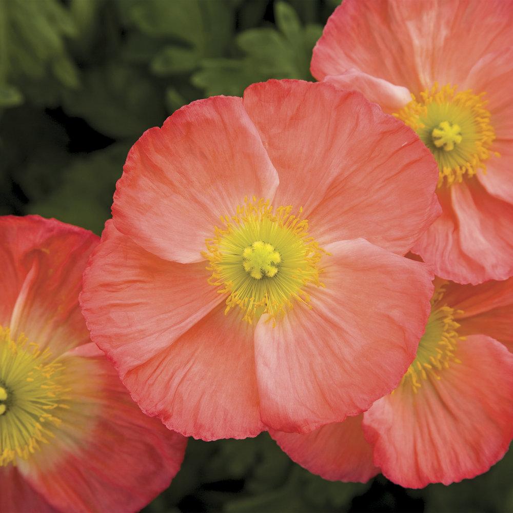 HR_Seed_Papaver_Pulchinella__Pulchinella__Rose_70004241_2.jpg